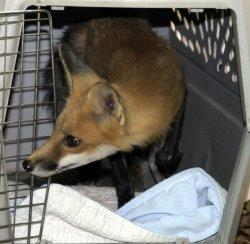 fox-release