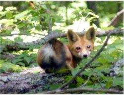 fox-release2