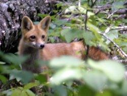 fox-release3